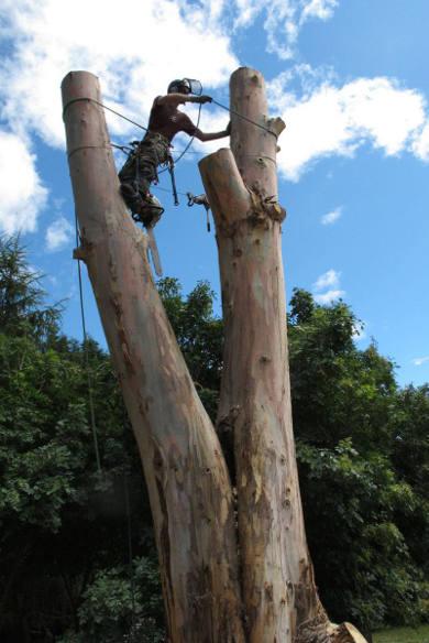 Abattage de chêne par rétention - Landerneau